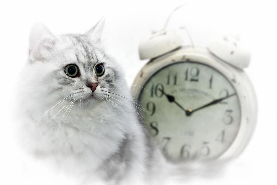 Felidae Photograph - British Longhair Cat Time Goes By II by Melanie Viola