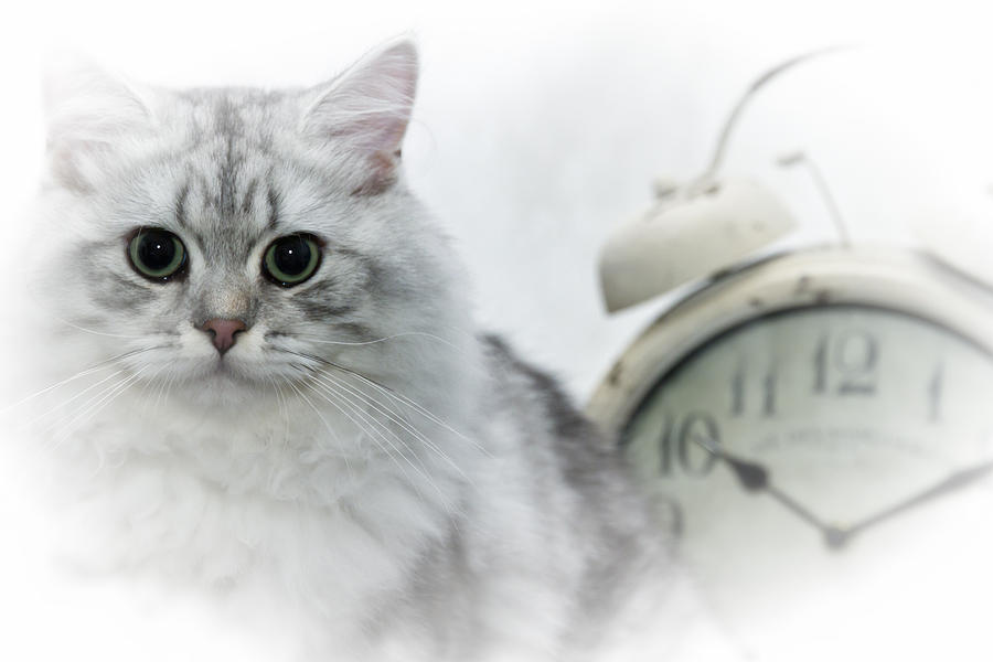 Felidae Photograph - British Longhair Cat Time Goes By by Melanie Viola