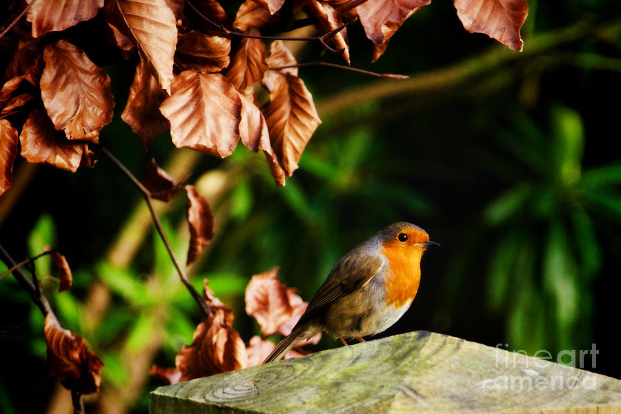 Robin Photograph - British Nature by Susie Peek