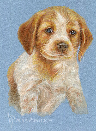 Brittany Puppy Portrait Drawing - Brittany Puppy Portrait by Victor Powell