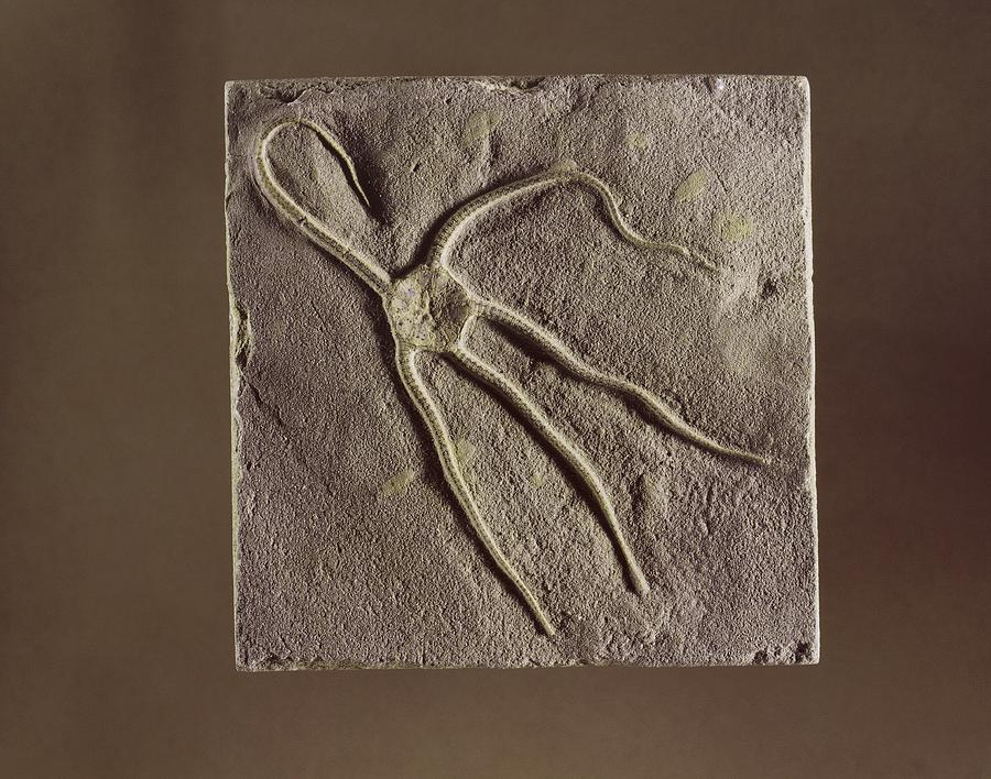 Bridport Photograph - Brittle Star Fossil by Science Photo Library