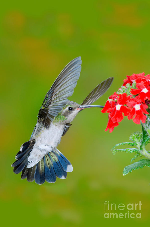 Hummingbird Photograph - Broad-billed Hummingbird by Anthony Mercieca