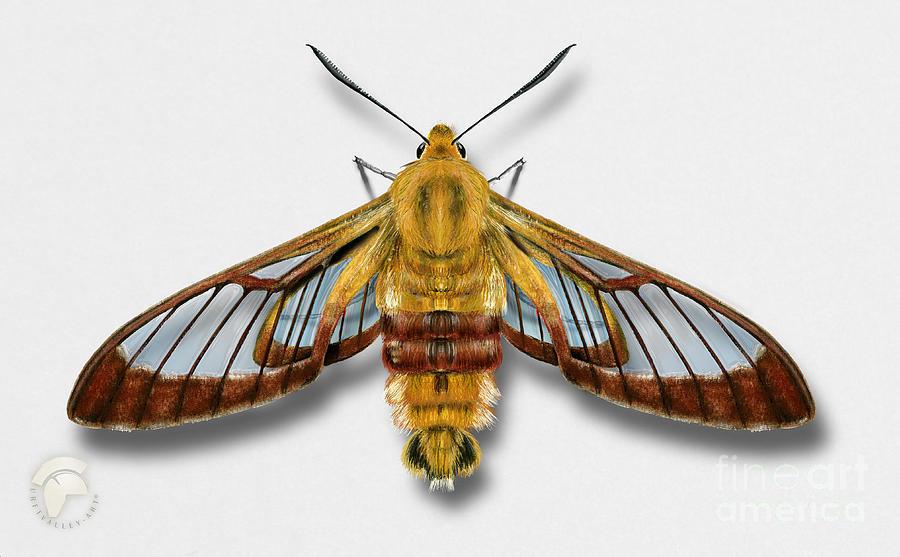 Broad-bordered Bee Hawk Moth Butterfly - Hemaris Fuciformis Naturalistic Painting -nettersheim Eifel Painting