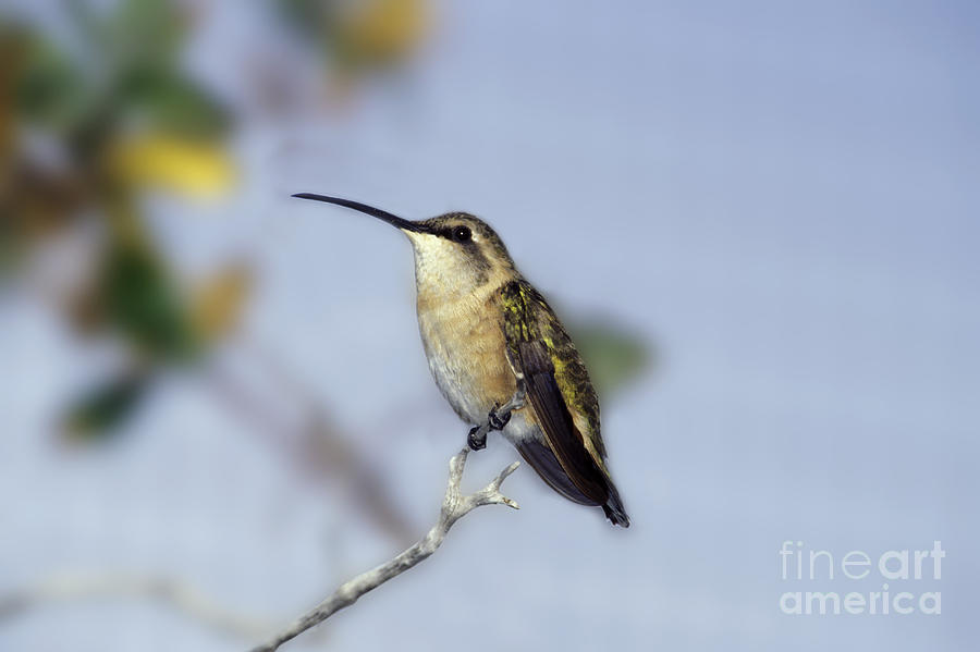Broad-tailed Hummingbird Photograph - Broad-tailed Hummingbird by Ron Sanford