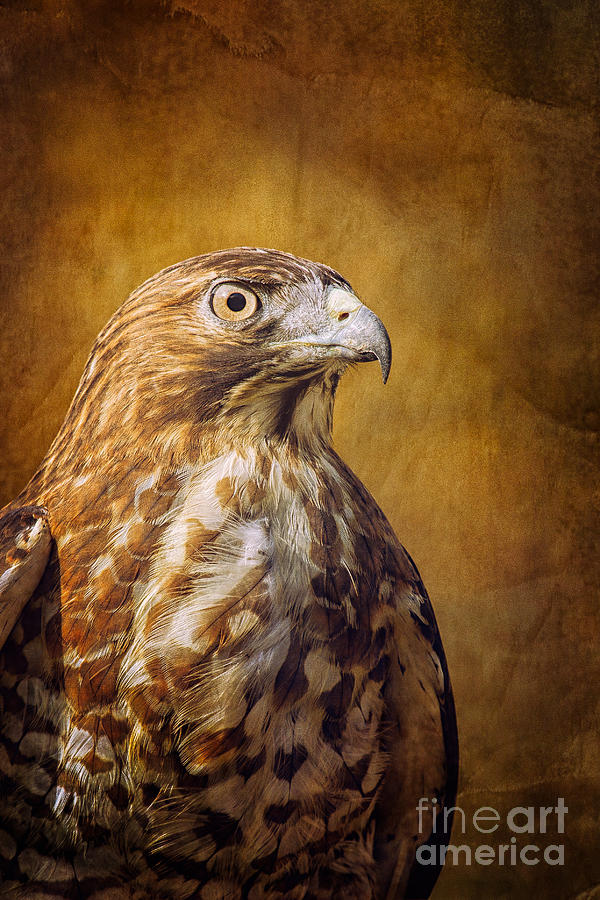 Bird Photography Photograph - Broad Wing Hawk by Todd Bielby