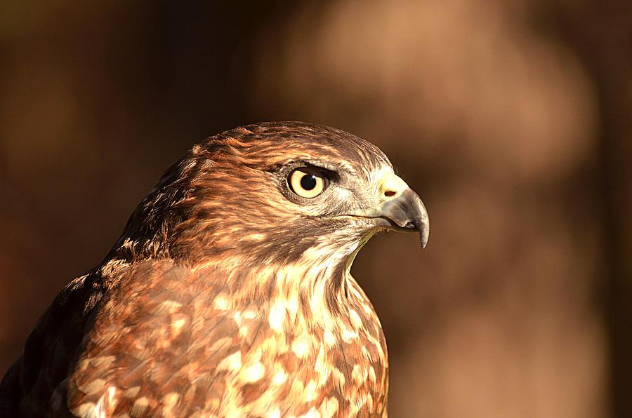 Broad-winged Hawk Photograph - Broad-winged Hawk by Nancy Landry