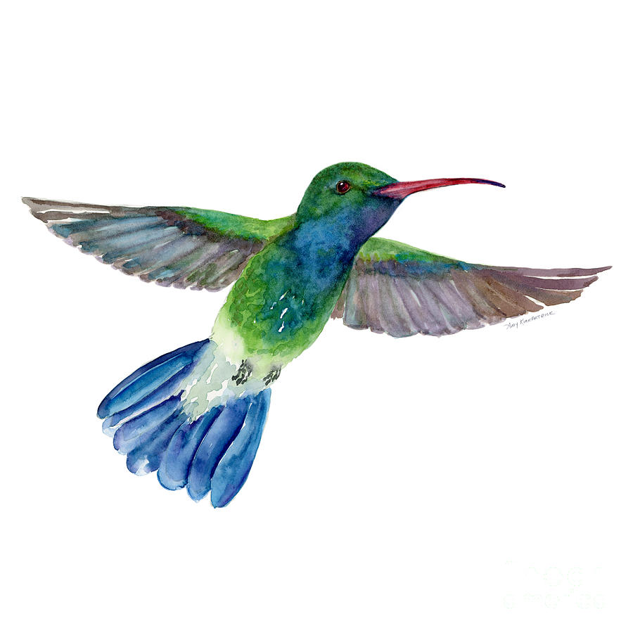 Broadbilled Fan Tail Hummingbird Painting
