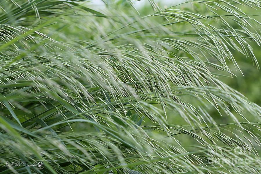 Hungarian Photograph - Brome Grass in the Hay Field by J McCombie
