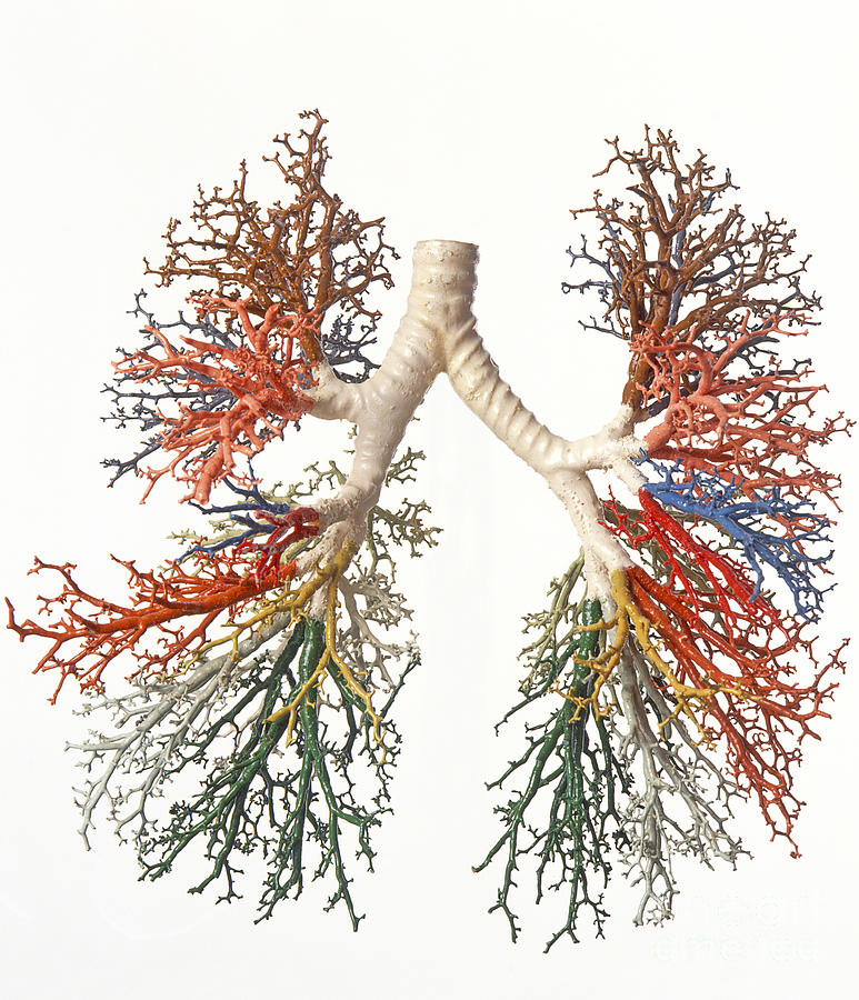 Bronchial Tree, Model Photograph by Dave King / Dorling Kindersley