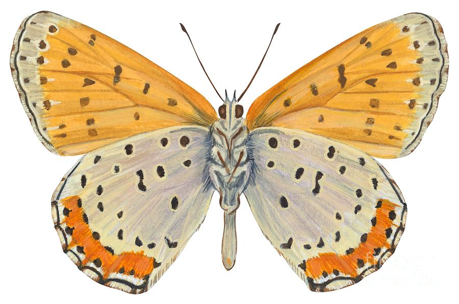 Insect Drawing - Bronze Copper Butterfly by Anonymous