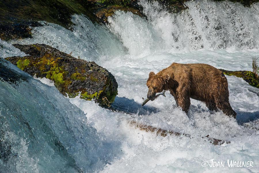 Alaska Photograph - Brooks Falls Grizzly by Joan Wallner