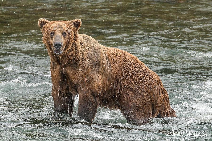 Alaska Photograph - Brooks River Grizzly by Joan Wallner