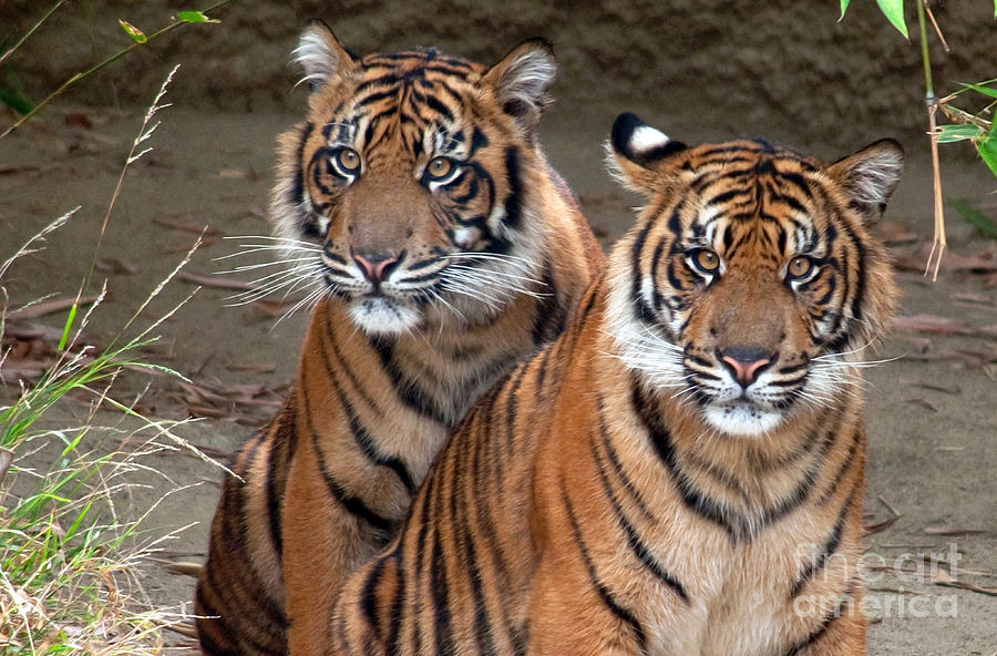 Tiger Photograph - Brothers by Dan Holm