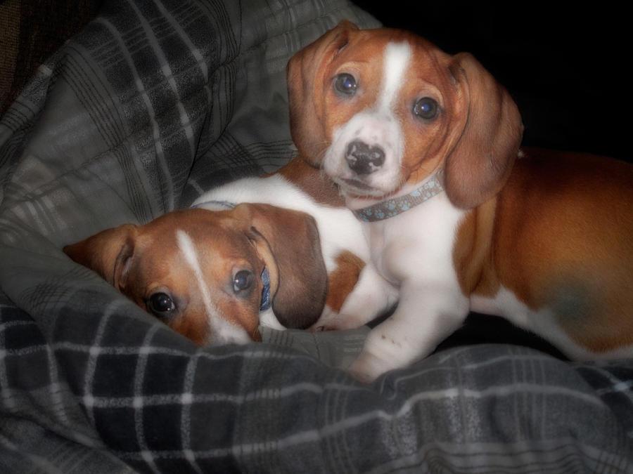 Dog Photograph - Brothers by David and Carol Kelly