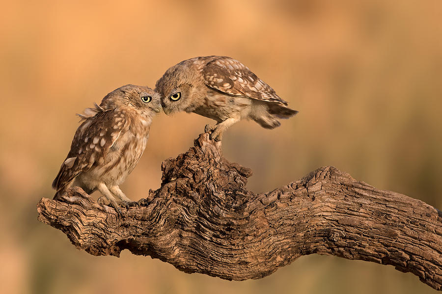 Owl Photograph - Brothers Forever by Amnon Eichelberg