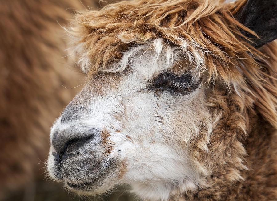Alpaca Photograph - Brown Alpaca by Graham Moore