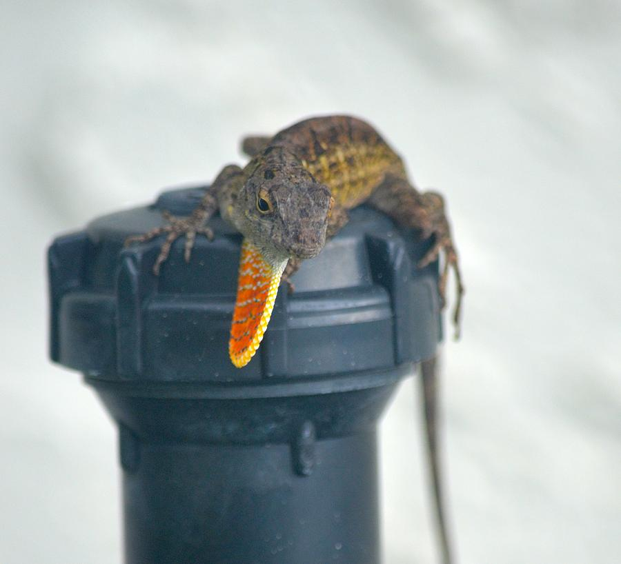 Florida Photograph - Brown Anole With Dewlap by Richard Bryce and Family