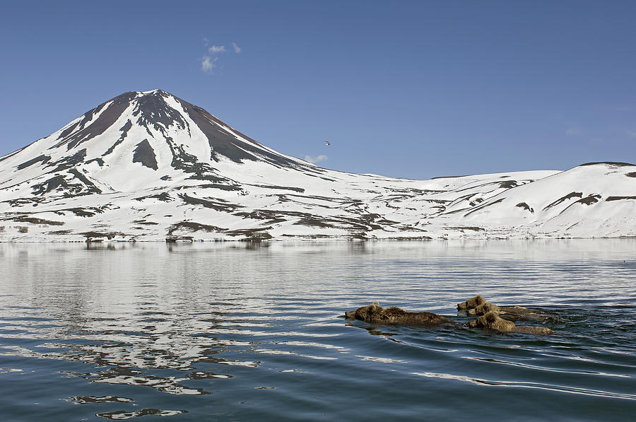 Brown Bear And Cubs Swimming Kamchatka Photograph by Sergey Gorshkov