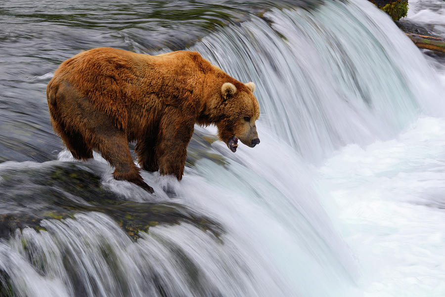 Brown Bear At Brooks Falls Photograph by Naphat Photography