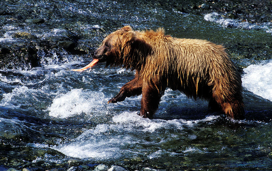 Brown Bear Catching Fish Photograph By Greg Ochocki