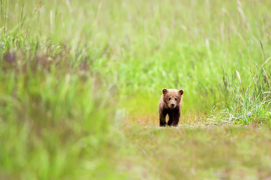 Brown Bear Cub Walking Down A Trail At Photograph by Richard Wear / Design Pics