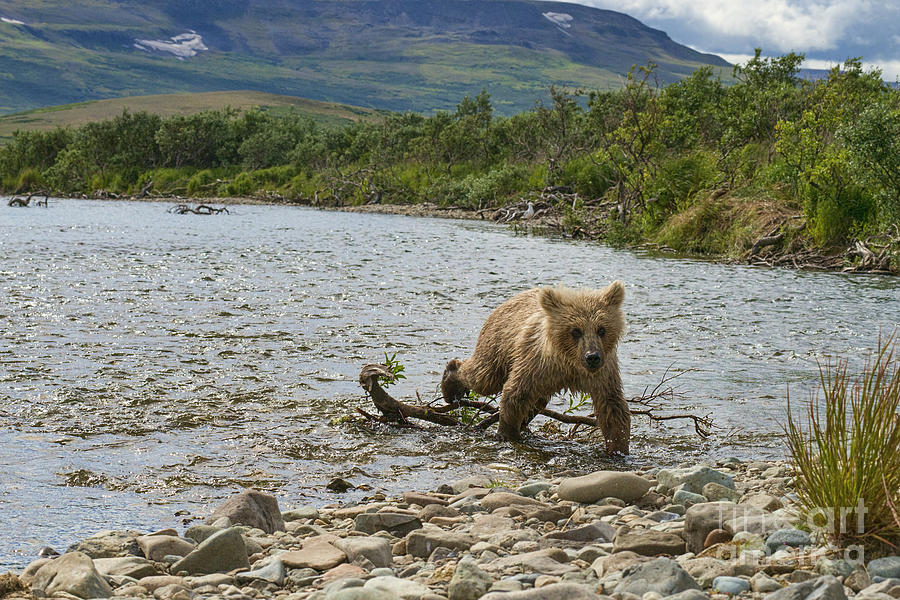 Cub Photograph - Brown Bear Cub Walking Up Stream Trying Keep Up With Mom by Dan Friend