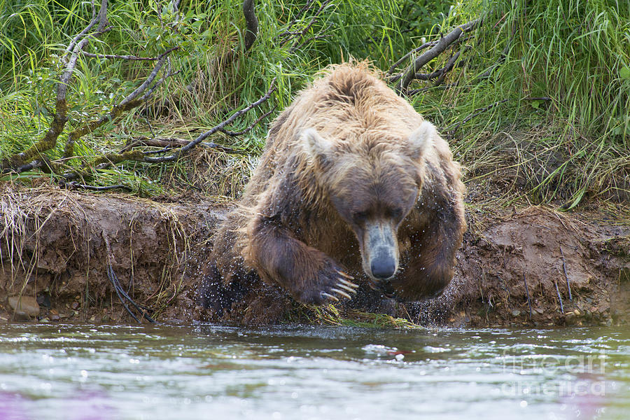 Brown Bear Photograph - Brown Bear Diving Into The Water After The Salmon by Dan Friend