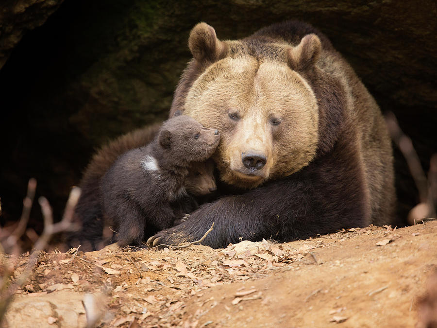 Brown Bear Family Photograph by Dietermeyrl