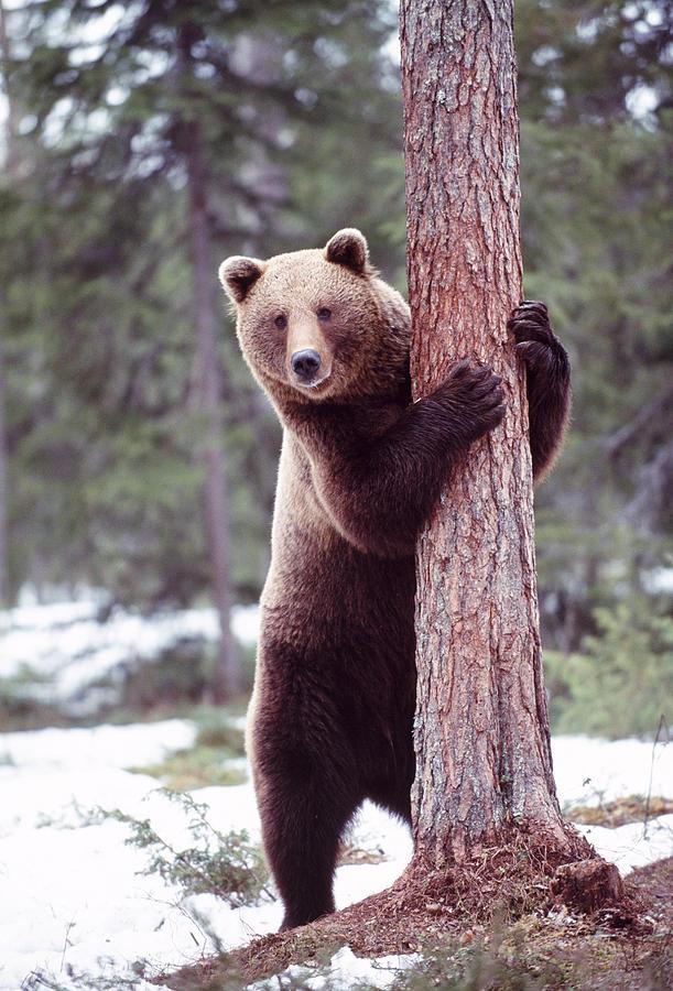 Brown Bear Hugging Tree Photograph By John Daniels