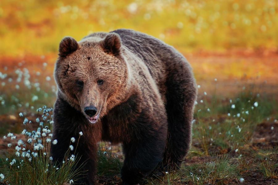 Brown Bear In Forest, Finland Photograph by Laurenepbath