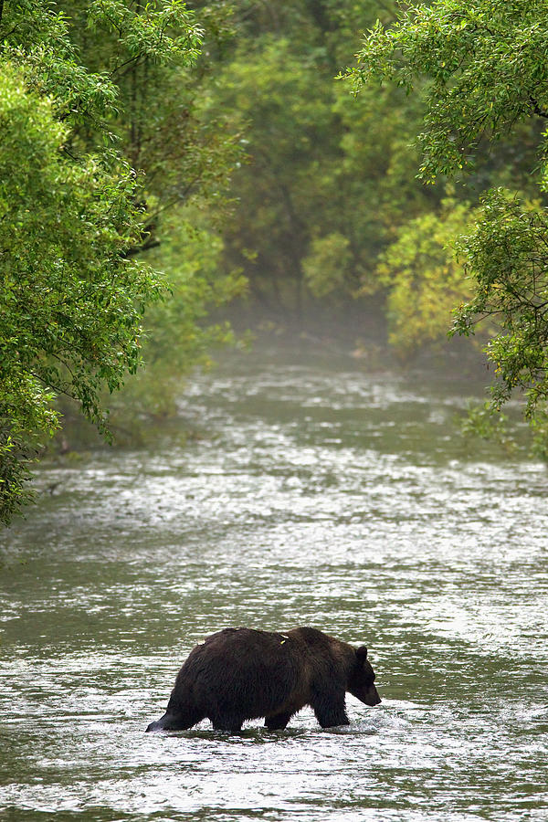 Brown Bear In Water At Fish Creek Photograph by Richard Wear / Design Pics