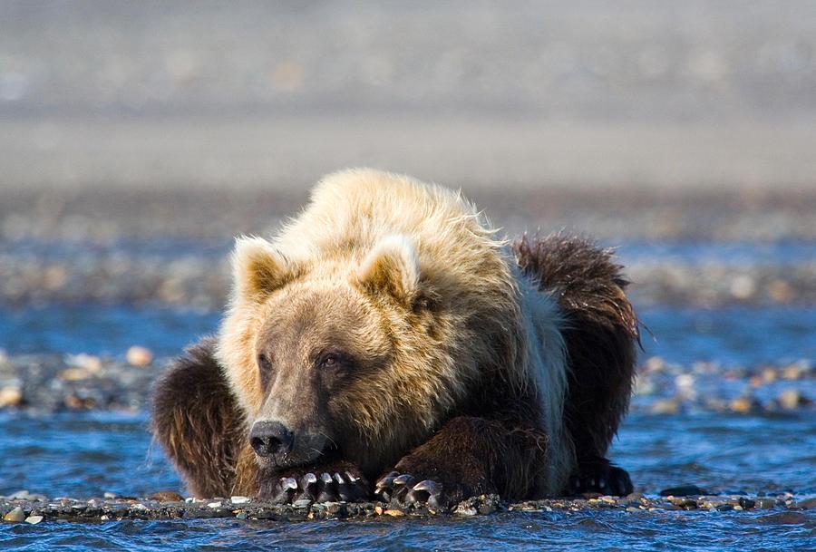 Alaskan Brown Bear Photograph - Brown Bear by Karen Lindquist