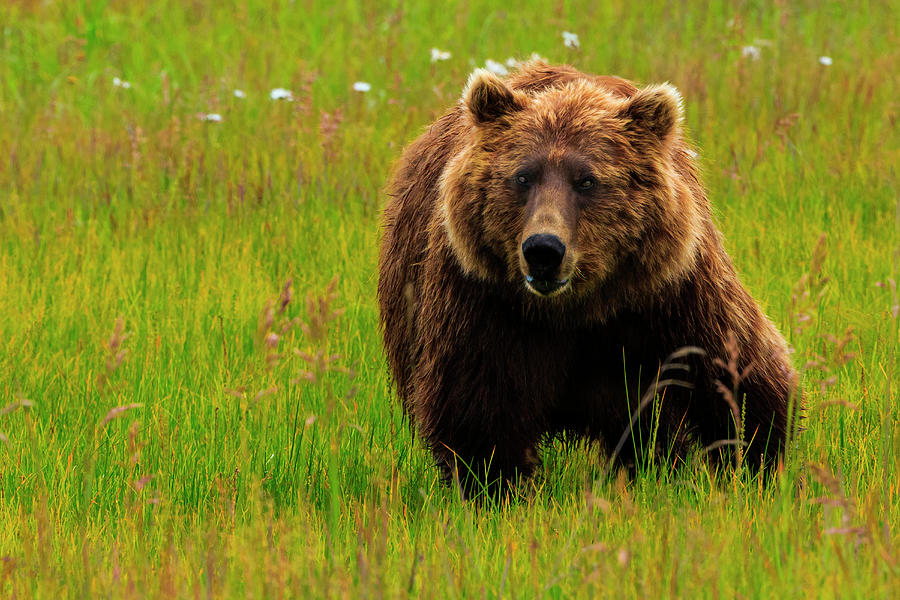Brown Bear, Lake Clark National Park Photograph by Mint Images/ Art Wolfe