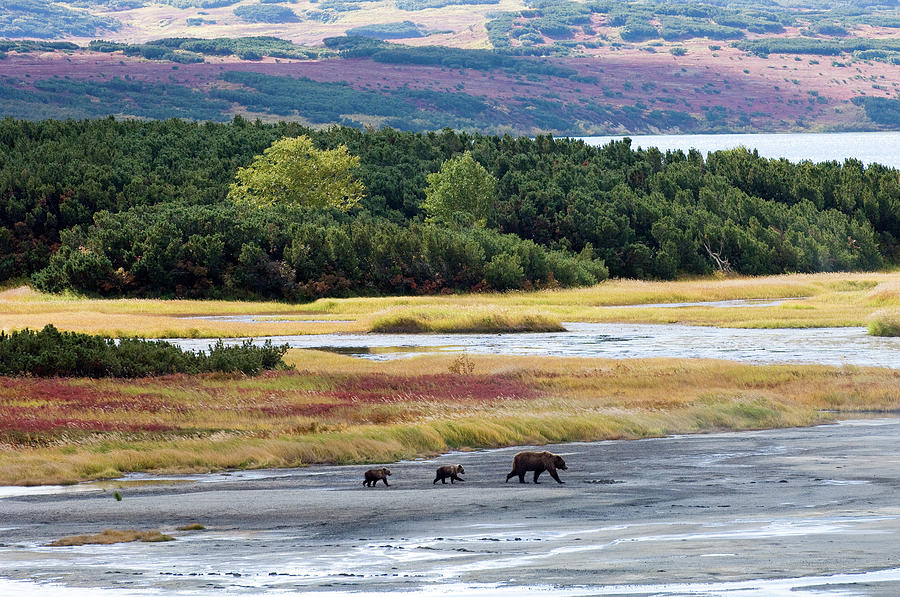 Brown Bear Mother With Two Cubs Photograph by Sergey Gorshkov
