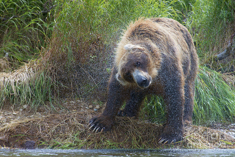 Brown Bear Photograph - Brown Bear Shaking Water Off After An Unsucessful Salmon Dive by Dan Friend