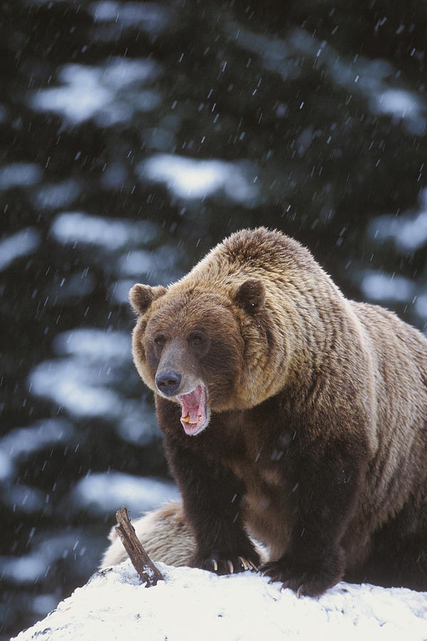 Brown Bear Standing In Snow Photograph By Milo Burcham