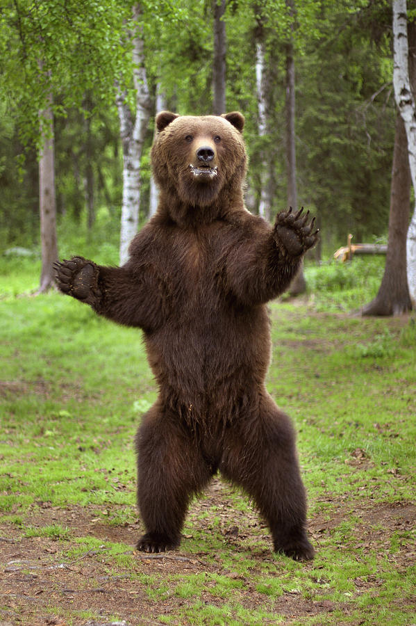 Brown Bear Standing On Hind Legs Photograph By Charles