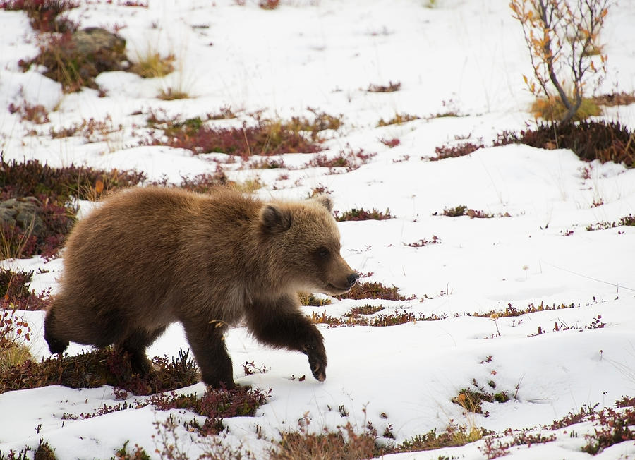Brown Bear Ursus Arctos Cub Plays In Photograph by Cathy Hart / Design Pics