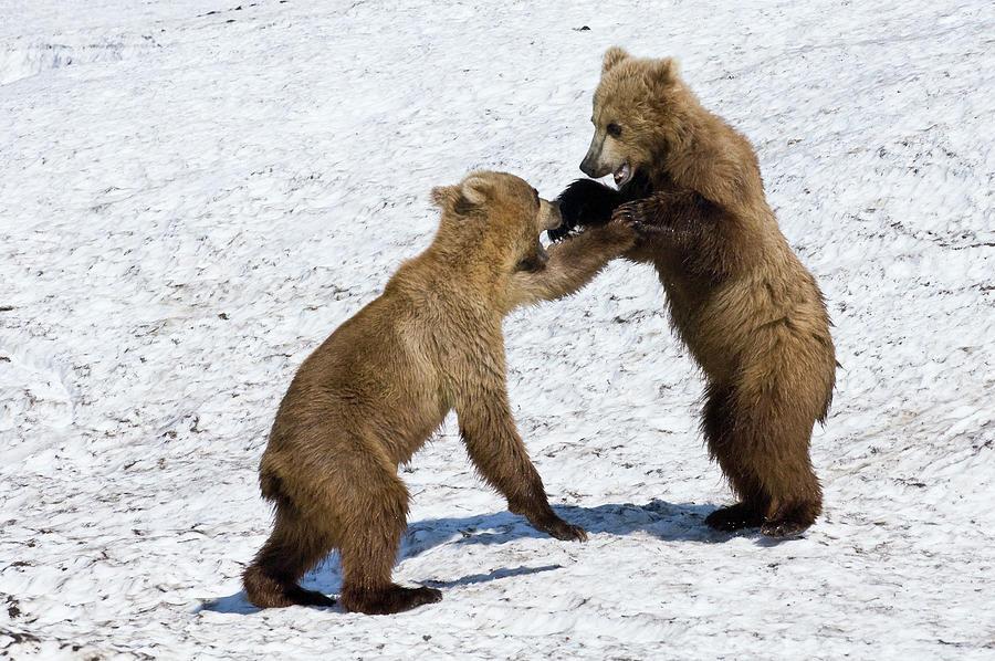 Brown Bear Ursus Arctos Cubs Play Photograph by Sergey Gorshkov