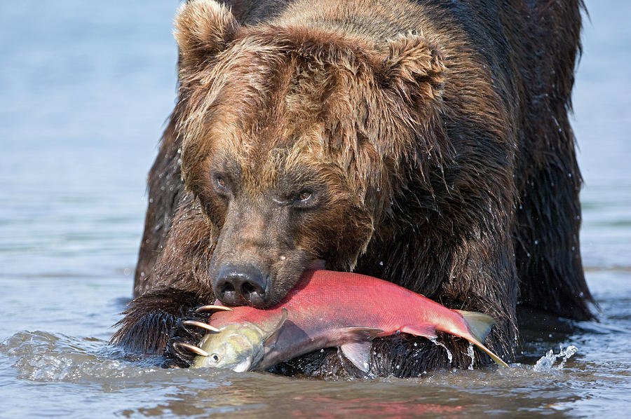 Brown Bear Ursus Arctos Feeding Photograph by Sergey Gorshkov
