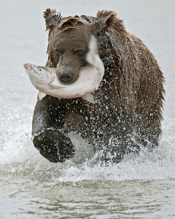 Wild Photograph - Brown Bear With Salmon Catch by Gary Langley