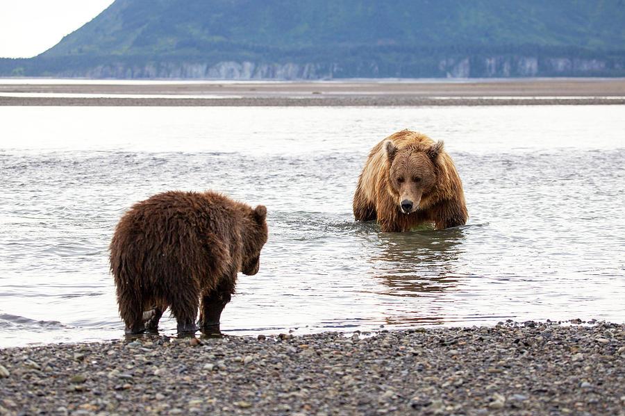 Brown Bears Photograph by Daniel A. Leifheit