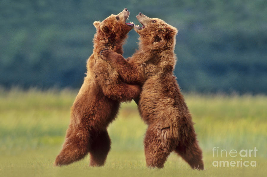 Animal Behavior Photograph - Brown Bears Sparring by Frans Lanting MINT Images