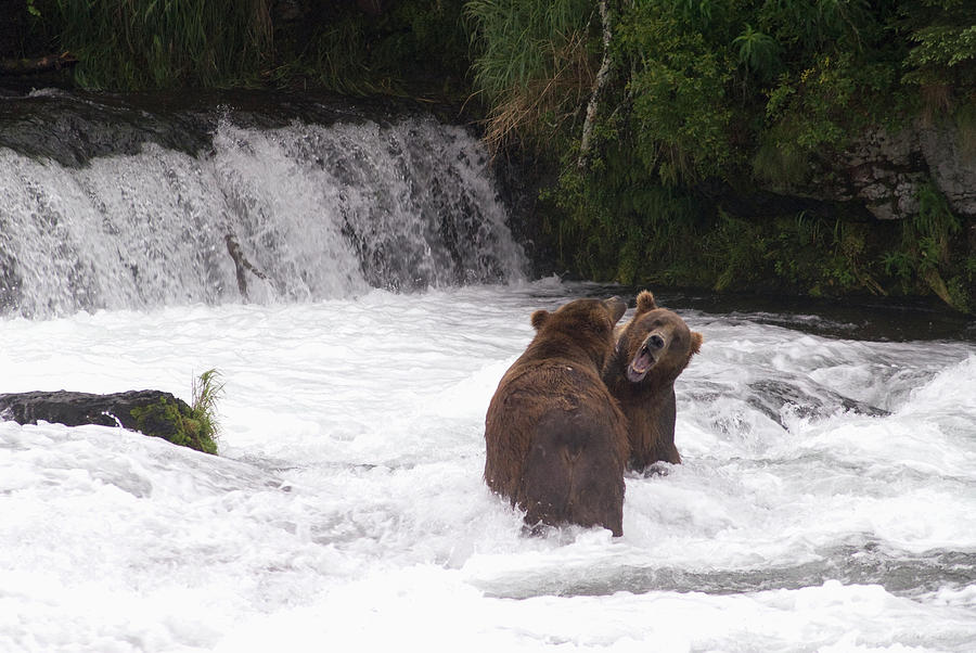 Brown Bears Ursus Arctos Sparing For Photograph by Richard Maschmeyer / Design Pics