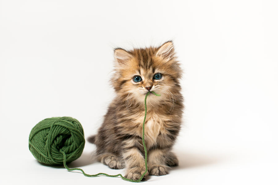 Brown Blue-eyed Kitten With Green Wool In Mouth Photograph by Benjamin Torode