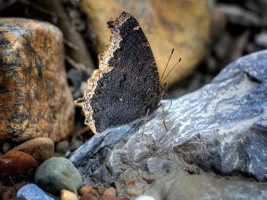National Park Photograph - Brown Butterfly Cuyahoga Valley by Jenny Ellen Photography
