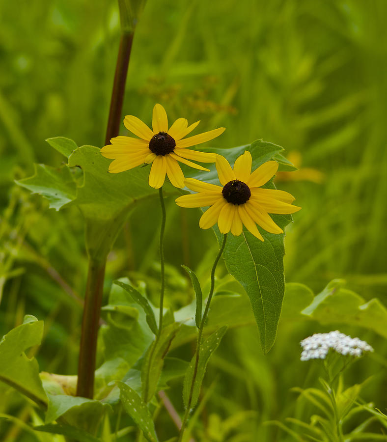 Brown Eyed Susan Photograph