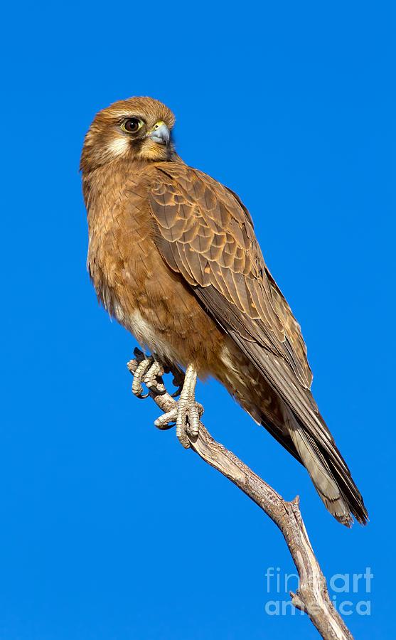 Brown Falcon Photograph by Bill  Robinson