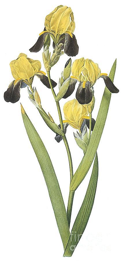 Flower Drawing - Brown-flowered Iris by Spencer McKain