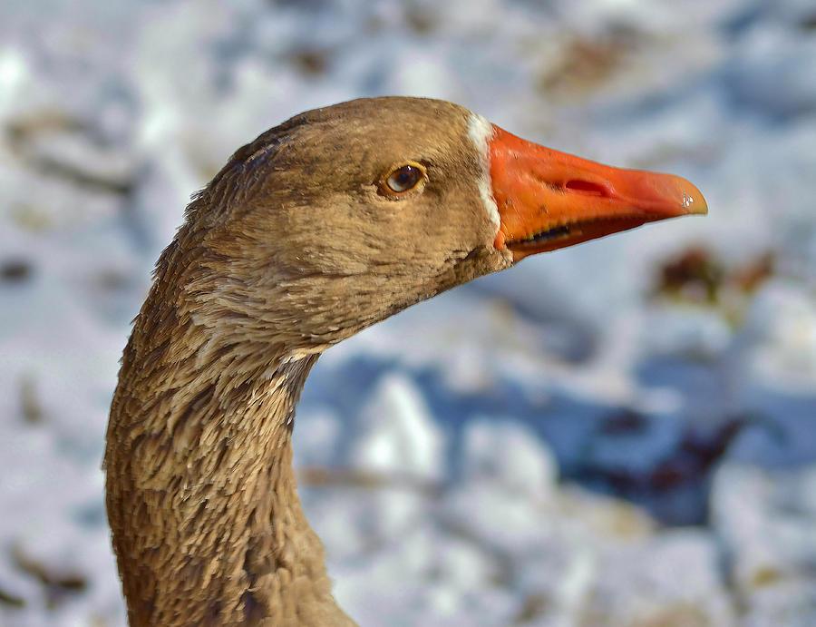 Goose Photograph - Brown Goose by Thomas  MacPherson Jr